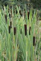 Breitblättriger Rohrkolben • Typha latifolia