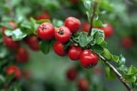 Felsenmispel Boer • Cotoneaster praecox Boer