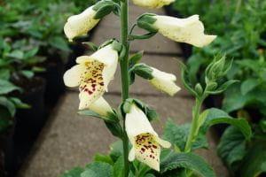 Garten Fingerhut Castor Cream • Digitalis purpurea Castor Cream