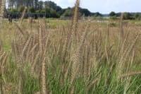 Garten-Federborstengras • Pennisetum alopecuriodes Compressum