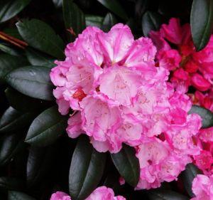 Rhododendron Polaris • Rhododendron yakushimanum Polaris