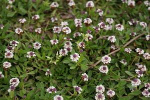 Teppichverbene • Phyla nodiflora
