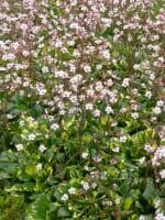 Garten-Porzellanblümchen Aureopunctata • Saxifraga x urbium Aureopunctata