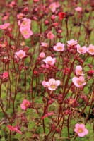 Moos-Steinbrech Blütenteppich • Saxifraga x arendsii Blütenteppich