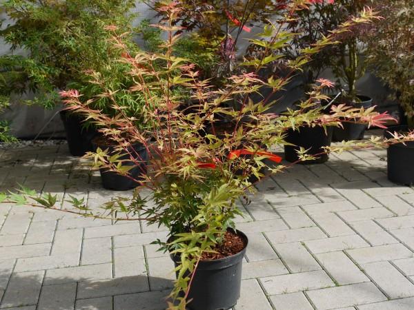 Fächerahorn Herhaim • Acer palmatum Herhaim