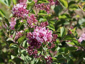 Herbstflieder • Syringa microphylla Superba