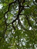 Geweihbaum • Gymnocladus dioicus
