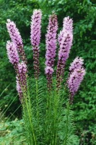 Ghislain118 (AD) http://www.fleurs-des-montagnes.net [CC BY-SA 3.0 (https://creativecommons.org/licenses/by-sa/3.0)]