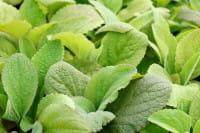 Garten Fingerhut Gloxoniaeflora • Digitalis purpurea Gloxiniaeflora