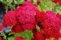 Garten Schaf Garbe • Achillea millefolium Pomegranate R