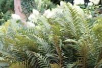 Filigranfarn Proliferum Dahlem • Polystichum setiferum Proliferum Dahlem