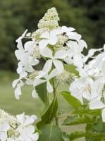Rispenhortensie Kyushu • Hydrangea paniculata Kyushu