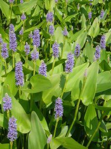 Herzblättriges Hechtkraut • Pontederia cordata