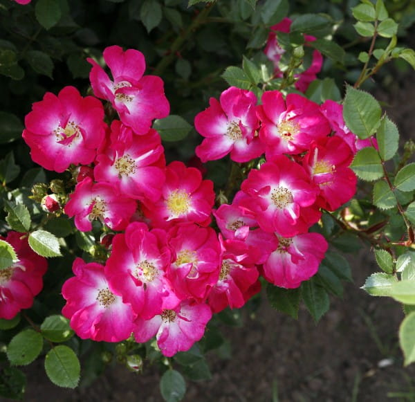Rose Lupo® • Rosa Lupo