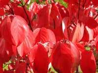 Roter Hartriegel • Cornus sanguinea