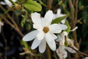 Sternmagnolie Royal Star • Magnolia stellata Royal Star