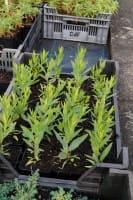 Garten-Röhrenstern - Amsonia hybride 'Blue Ice'