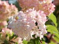 Rispenhortensie Pinky Winky® • Hydrangea paniculata Pinky Winky