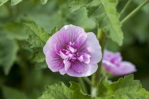 Halbstrauchige Stockrose • Alcalthaea suffrutescens Parkrondell