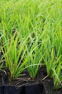 Garten-Sandrohr • Calamagrostis x acutiflora Waldenbuch