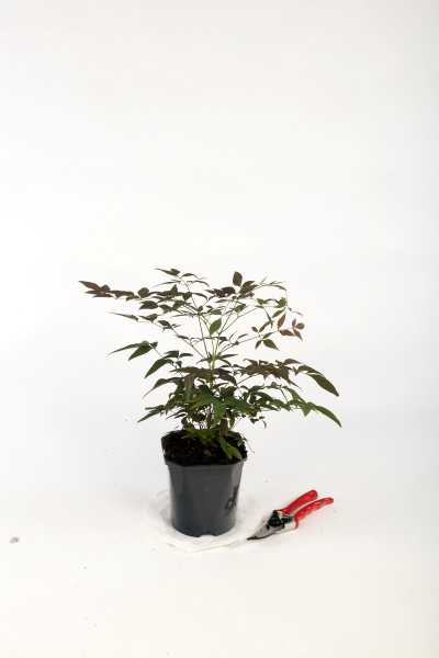 Heiliger Bambus Obsessed • Nandina domestica Obsessed