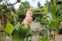 Silberkerzenstrauch Pink Spire • Clethra alnifolia Pink Spire