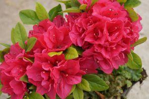 Japanische Azalee Melina • Rhododendron obtusum Melina