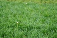 Garten Grasnelke • Armeria maritima Alba gen.