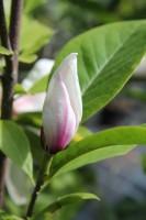 Tulpenmagnolie Alexandrina • Magnolia soulangiana Alexandrina