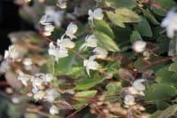Garten-Elfenblume Niveum • Epimedium x youngianum Niveum