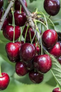 Süßkirsche Kordia • Prunus avium Kordia