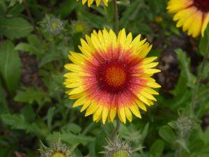 Kokardenblume Kobold • Gaillardia grandiflora Kobold