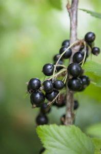 Schwarze Johannisbeere • Ribes nigrum