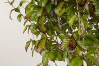 Eisenholzbaum Persian Spire • Parrotia persica Persian Spire