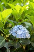 Gartenhortensie Bläuling • Hydrangea macrophylla Bläuling