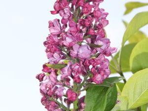 Edelflieder Charles Joly • Syringa vulgaris Charles Joly