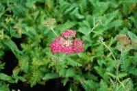 Garten-Schafgarbe - Achillea millefolium Paprika