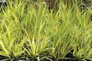 Gestreiftes Pfeifengras • Molinia caerulea Variegata