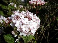 Wohlriechender Schneeball • Viburnum carlesii Aurora