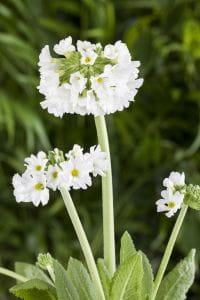 Kugelige Garten-Schlüsselblume • Primula denticulata Alba