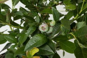Heidelbeere-Blaubeere Brigitta • Vaccinium corymbosum Brigitta