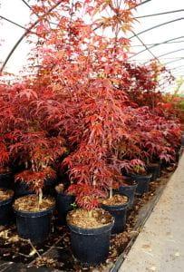 Fächerahorn Shaina • Acer palmatum Shaina