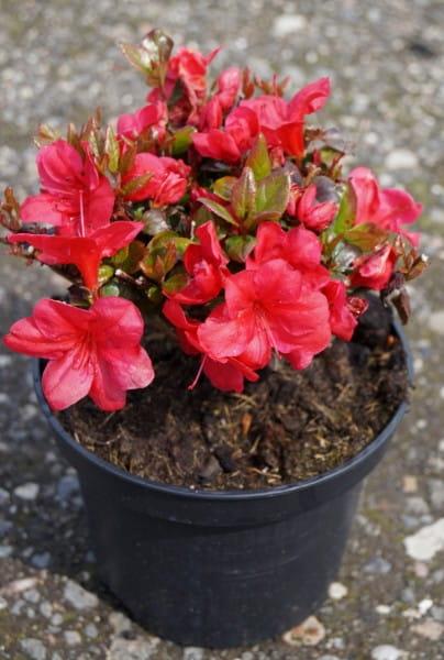 Rhododendron Drapa • Rhododendron obtusum Drapa