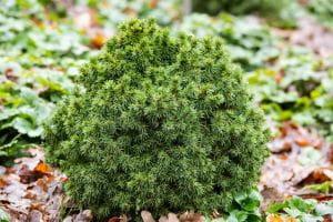 Kugelfichte Alberta Globe • Picea glauca Alberta Globe