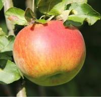 Apfelbaum Rheinischer Winterrambur • Malus Rheinischer Winterrambur