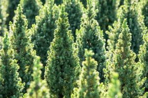Zuckerhutfichte • Picea glauca Conica