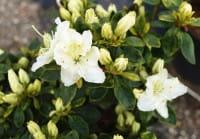 Japanische Azalee Maischnee • Rhododendron obtusum Maischnee