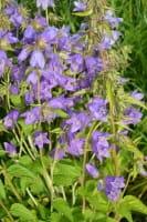 Nesselblättrige Glockenblume • Campanula trachelium