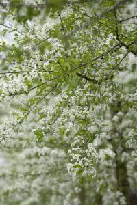 Steinweichsel • Prunus mahaleb