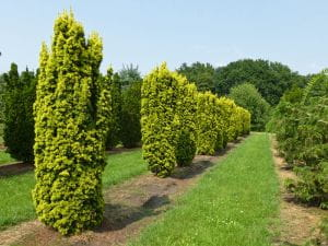 Gelbe Säulen-Eibe • Taxus baccata Fastigiata Aureomarginata